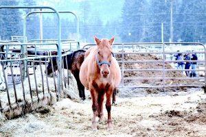 valley-auction-preg-mare-2-2015-600x400-1-300x200